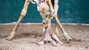 Busch Gardens welcomes baby giraffe just in time for World Giraffe Day