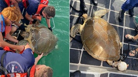 U.S. Coast Guard rescues sea turtle tangled in crab pots near the Florida Keys