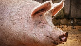 Swine flu strain with 'human pandemic potential' found in more Chinese pigs, scientists say