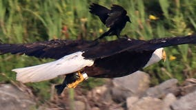 Red-winged blackbird photographed hitching a ride on bald eagle's back