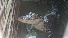 'Alex the Alligator' captured in Lynwood