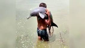 Fisherman in India accidentally catches endangered dolphin, carries it to safety