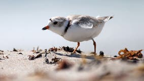 Experts wonder how the pandemic will affect endangered birds in Chicago