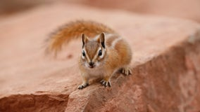 Chipmunks driving people nuts thanks to bumper crop of acorns