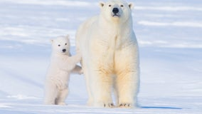 Researchers say greenhouse gas emissions are helping push polar bears toward extinction by 2100