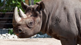 Old, ailing Rhino euthanized at Lincoln Park Zoo