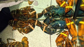Rare blue lobster saved by Red Lobster employees and sent to zoo