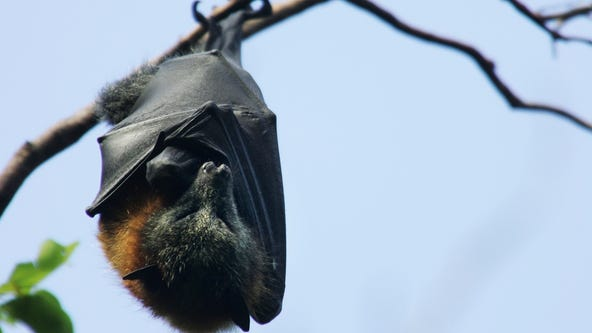 Dead bats test positive for rabies in Illinois county