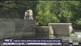 Fish returning to Chicago River in droves