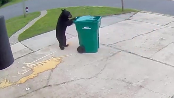 Smarter-than-average bear wheels garbage can back up man's driveway before tipping it over to enjoy spoils
