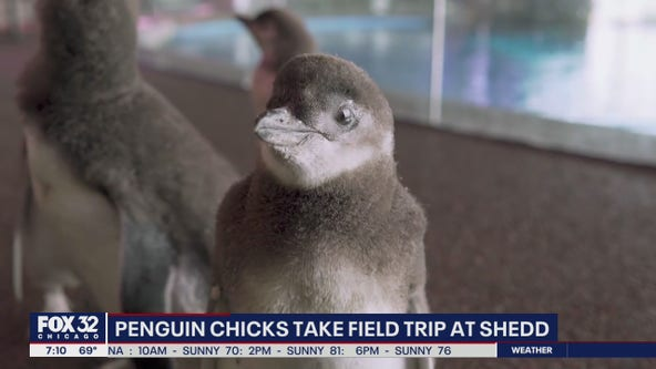 Penguin chicks go on a field trip at the Shedd