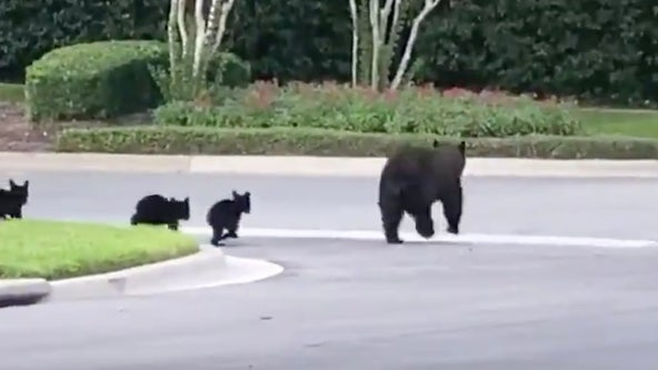 Mama bear and cubs spotted running across sidewalk in Seminole County