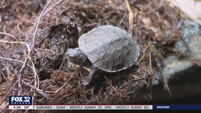 Rare species of turtle gets much needed lift from local ecologists