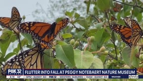 Peak season for monarch butterflies reaches Chicago