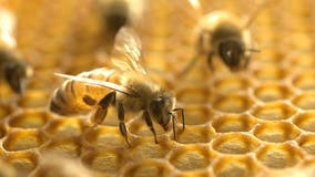 Honeybee venom destroyed breast cancer cells, study finds