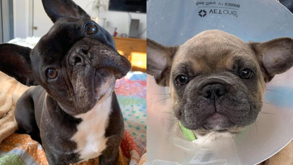 Animal group refuses CDC's request to return French bulldogs to O'Hare Airport