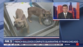 French bulldogs complete quarantine at PAWS Chicago