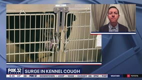 Kennel cough, upper respiratory infections on the rise among dogs