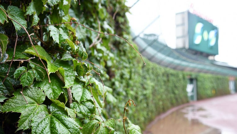 Wrigley Field ivy during a rain storm.