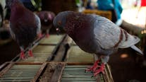 Belgian racing pigeon fetches record price of $1.9 million