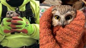 Owl found in Rockefeller Christmas tree has been set free