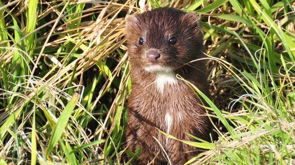 Dead mink rise from their graves in Denmark