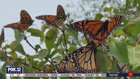 Monarch butterfly population declining, won't receive protections anytime soon
