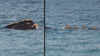 Whale and calf spotted near Florida beach with pod of dolphins