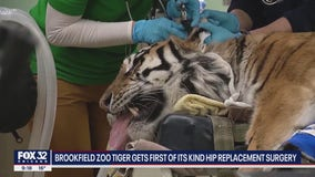Tiger that underwent rare hip replacement surgery at Brookfield Zoo has setback