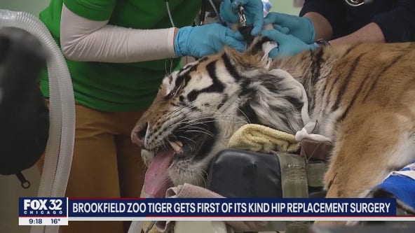Tiger undergoes rare hip replacement surgery at Brookfield zoo