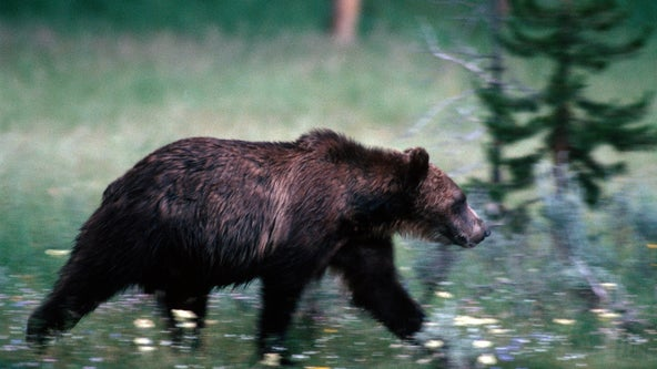 Long life: Yellowstone's oldest grizzly bear was 34 and still killing with 3 remaining teeth