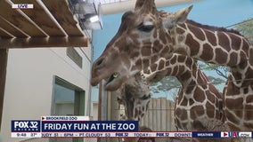 Giraffe exhibit showcases gentle giants at Brookfield Zoo