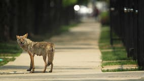 Beware of coyotes: Cook County issues warning to residents