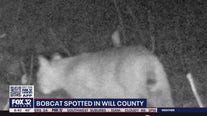 Bobcat sighting in Will County draws attention to elusive creatures