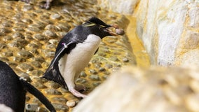 Video shows Shedd penguins stealing from each other during nesting season