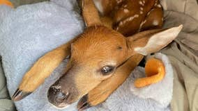 Baby deer rescued after being found on road next to dead mother in Brevard County