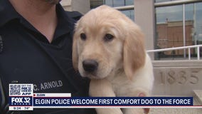 Not your ordinary canine cop: Elgin police add comfort K9 to the force