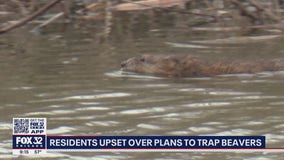 Glenview residents outraged over plans to trap beavers in ponds