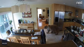 Harrowing video captures fearless terriers chase away bear that wandered into home