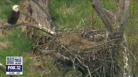 Eagle guarding nest spotted in Busse Woods in suburban Elk Grove Village
