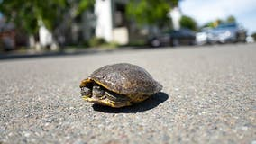 DuPage officials warn drivers to be on the look-out amid turtle crossing season