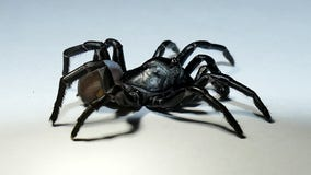 New venomous species of tarantula-like spider discovered in South Florida
