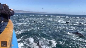 'Super pod' of dolphins dazzles boaters off California coast