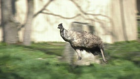 Video: Brookfield Zoo's emu runs wild, stretches legs on pleasant spring day