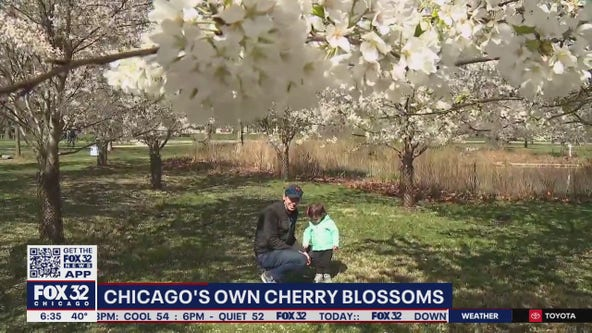 Chicagoans relish in the blooming of cherry blossoms