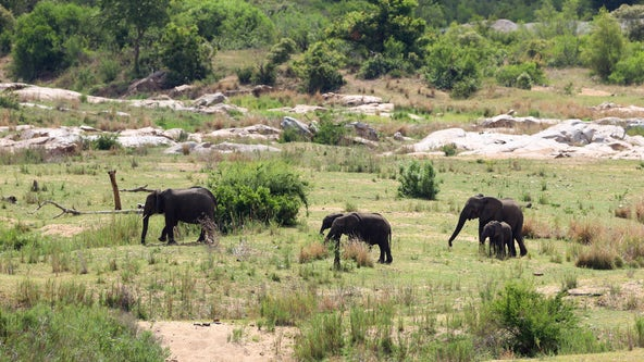 Elephants kill suspected poacher in South African national park