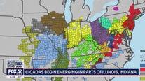 17-year cicada swarm to begin soon in Illinois, Indiana