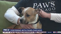 PAWS Chicago seeking foster parents for homeless pets