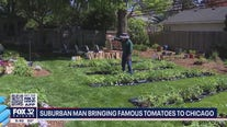 'Tomato Man' grows 2,200 tomato plants in La Grange home and adjacent greenhouse