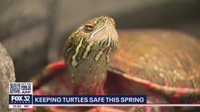 Illinois motorists urged to use caution to avoid nesting turtles